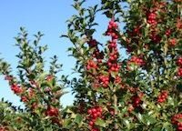 Holly-tree-with-berries-e1624647119724.jpg