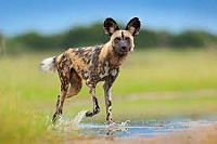 african-painted-dog.png