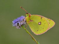 clouded-yellow.png