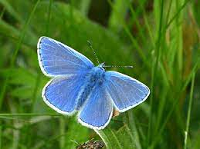 common-blue.png
