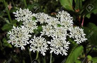 cow-parsley-flower-e1624650118571.png