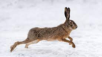 hare-e1624648763363.png