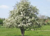 hawthorn-e1624646933930.png
