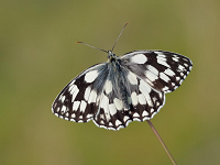 marbled-white.png
